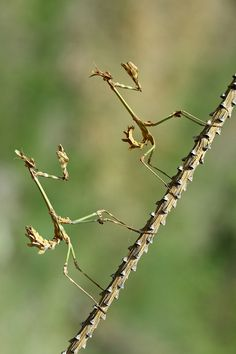 """I challenge you to a stick fight!. Stick bugs."