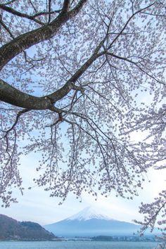 Mt.Fuji and Cherry Blossoms by peaceful-jp-scenery Lake Kawaguchi Fuji 5 Lakes 河口湖の桜  Mt.Fuji and Kawaguchiko long bridge can be seen there. 富士山と河口湖大橋を入れてみました  [color retouched by Adobe Lightroom] Fuji-kawaguchikomachi Yamanashi pref Japan http://flic.kr/p/shFmkH