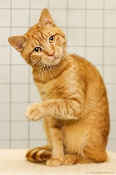 Scientists have found that different genetic combinations can affect the color, pattern, and length of a cat's fur. Sometimes these combinations seem surprising. But what does that mean for orange cats? Are all orange cats male? Orange Tabby Cats, Red Cat, Pretty Cats, Beautiful Cats, Cute Kittens, Cats And Kittens, Baby Kittens, Chatons Oranges, Gatos Cat