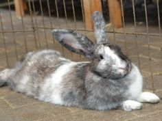 Tyra is an adopted Harlequin Rabbit in San Gabriel, CA. Tyra is a GORGEOUS black/grey/white harlequin! Very unique coloring! And she DESPERATELY wants every human to dote upon her! She will literally ...
