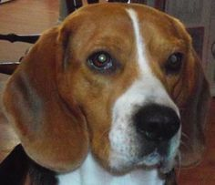 - Sloopy -  Please share our photos and visit our website to see all of our adoptable beagles.
