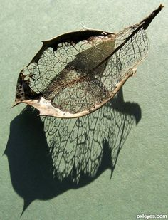 Skeleton Leaf picture, by jeaniblog for: single leaf photography contest - Pxleyes.com
