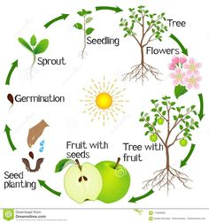 Science For Kids, Science And Nature, Tree Life Cycle, Apple Life Cycle, Cute Powerpoint Templates, Leaf Identification, Planting For Kids, Fall Arts And Crafts, Tree Seedlings