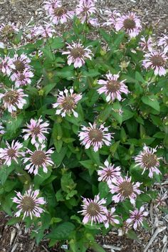 Eastern Bee Balm for sale buy Monarda bradburiana