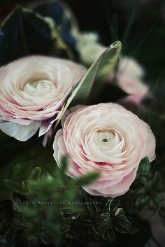 ~~Flowers I can't do without by *Les Hirondelles* Photography - ranunculus~~