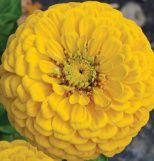 Giant Dahlia Flowered Golden Yellow