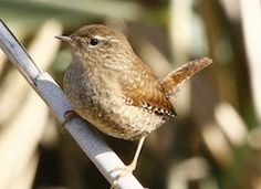 Learn how to identify Winter Wren, its life history, cool facts, sounds and calls, and watch videos. Small in stature and incomparably energetic in voice, the Winter Wren inhabits moist forests and other habitats across much of eastern North America.  They were formerly considered one species that occupied northern forests across the globe. But in 2010, on the basis of vocalizations and genetics, they were split into three species, including the Pacific Wren of western North America and the…