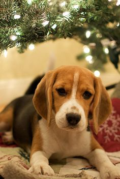 Christmas Gift :-), our beagle loves to lay under our tree every year. The presents make her mad.