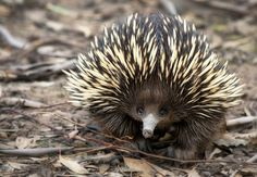 Echidna facts, information, pictures & video. Echidnas are shy, egg-laying mammals. Read everything you need to know about these awesome Australian animals. Animal Facts For Kids, Animals For Kids, Cute Baby Animals, Fun Facts About Animals, Rare Animals, Funny Animals, Exotic Animals, Animal Memes, Cutest Animals
