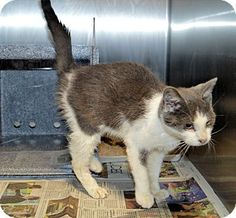 URGENT! Henderson, NC - Domestic Shorthair. Meet Chesley, a cat for adoption. http://www.adoptapet.com/pet/16769121-henderson-north-carolina-cat