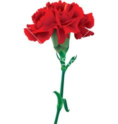 Red Carnation | Red carnation vector by elenikov - Image #834072 - VectorStock