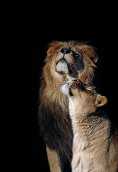 Lion & Lioness by Edwin Butter - Wild Animal Photo Wild Animals Photos, Cute Wild Animals, Baby Animals, Lion Images, Lion Pictures, Beautiful Cats, Animals Beautiful, Lion Couple, Lion Photography