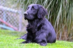Buddy - Flat Couted Retriever