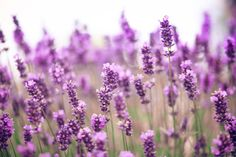 Scents That Make You Relax - Relaxing Aromas - Good Housekeeping -- Lavender - A study published in the International Journal of Neuroscience revealed that lavender oil has been found to affect the brain in such a way that it increases drowsiness.