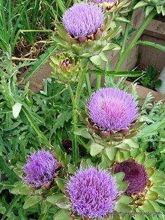 I like letting my artichokes flower instead of eating them.  They're such an interesting flower and make a great addition to my flower garden.