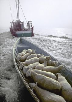 """Peter Ralston has photographed the coast of Maine since 1978. """"Pentecost"""" -Sheep being transported by a mail boat.© Peter Ralston,"""