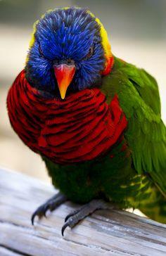 A Lorikeet  at San Diego, California Zoo.  | Flickr - Photo Sharing!
