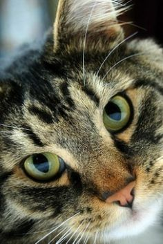 cat #cats Pretty Cats, Beautiful Cats, Animals Beautiful, Cute Cats, Funny Cats, Adorable Kittens, Animals And Pets, Cute Animals, Serious Cat