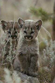BOBCAT cubs/kits<<<<<these are definitely cougar cubs but you know....