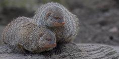 Zusammen - Together Mongoose, Ferret, Animals, Animales, Animaux, Ferrets, Animal, Animais, European Polecat