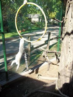 Julien (Zsüli) ring-tailed lemur and the ring at the Kecskemét Zoo, Hungary. Photo and enrichment item by Dorottya Major ex-zookeeper at the Kecskemét Zoo