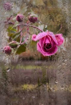 -Purple pink rose drooping from heavy water drops after the rain. the rosebush's branch bowed down with the heavy buds waiting to burst into bloom. Rainy Night, Rainy Days, Raindrops And Roses, I Love Rain, Rosa Rose, Rose Cottage, Dancing In The Rain, Rain Drops, Dew Drops
