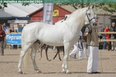 Lipizzan - stallion Neapolitano X-3 (X Bornea)