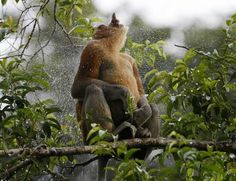 Dieren op het spel in Kopenhagen: de orang-oetan - Ecologie - De Morgen