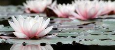 Portrait of A Lotus Flower