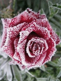 Iced rose