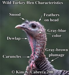 The female turkey has a more subtly colored head. She is able to hide better due to this natural camouflage. It is useful when she is sitting on her nest and needs to be concealed from predators. Coyote Hunting, Pheasant Hunting, Archery Hunting, Turkey Farm, Wild Turkey, Saltwater Fishing, Kayak Fishing, Female Turkey, Turkey Mounts
