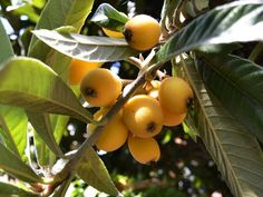 Seasonal Eats: Forage Your Local Loquats! a selection of loquat recipes Homemade Barbecue Sauce, Barbecue Sauce Recipes, Loquat Recipes, Loquat Tree, Ginger Chutney, Sour Fruit, Street Trees, Tea Smoothies, Delicious Fruit