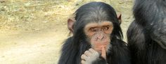 Chimpanzee & Wildlife Orphan Care Project | Conservation Volunteering Work in Africa