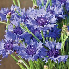 Cornflower 'Blue Diadem' - Hardy Annual Seeds - Thompson & Morgan