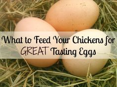 DIY Pets : What To Feed Your Chickens For Great Tasting Eggs! Want better tasting chicken eggs? Here's what to feed your chickens so they'll lay tasty, healthy eggs. From FrugalChicken Sharing is caring, don't forget to share ! What To Feed Chickens, Raising Backyard Chickens, Keeping Chickens, Pet Chickens, Backyard Farming, Best Chickens For Eggs, Food For Chickens, Urban Chickens, Chicken Life