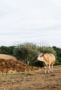 Vacca al pascolo - Cows grazing © Pietro D'Antonio
