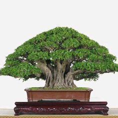 Ficus Bonsai Banyan (by Weng Qi Zhang). This article has great side by side comparisons of natural trees that could have been the inspiration for well known bonsai trees.