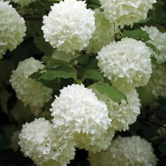 Shrubs My Viburnum opulus has finally grown big enough to plant out into the garden. Sun or semi shade - one for the bottom of the garden where the white border meets the woodland border. White Plants, Large Plants, Potted Plants, Garden Shrubs, Shade Garden, Viburnum Opulus Roseum, White Flowers, Beautiful Flowers, Daisies