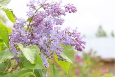 June's sweet lilac's