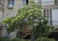 pruning plumeria - Google Search