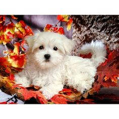 Lovely Little White Fluffy Puppy Animal Pictures ❤ liked on Polyvore featuring animals, dogs, pets, backgrounds and pictures