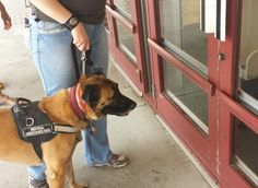 dog obedience training tips 5429928358 Ada Service Dog, Service Dog Training, Basic Dog Training, Dog Training Classes, Dog Training Techniques, Dog Separation Anxiety, Dog Anxiety, Psychiatric Service Dog, Dog Food Online
