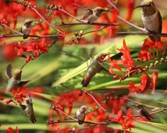 https://flic.kr/p/JWJV7Q   Hummingbird Collage   This delightful hummingbird spends a lot of time sipping nectar in the crocosmia.  The resident male drives her off whenever he sees her but she is usually able to sneak in the back way where the Anna's cannot see her right away.