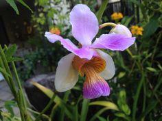 Vanda Miss Joaquim orchid - Flickr - Photo Sharing!