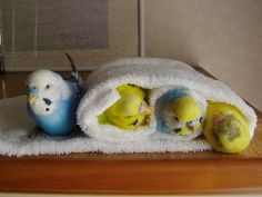 Budgies in a towel. <3 I tried doing this with my sisters parakeet and he freaked lol.