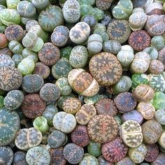 Loving these lithops! #succulove shared @plantgetenough