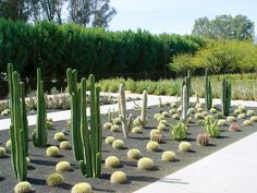 This mostly cacti grouping at Sunnylands features columnar San Pedro and fencepost cactus, white fuzzy Cleistocactus, and squat golden barrels for a diverse celebration of geometric forms.
