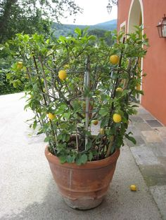 Meyer Lemon/Mexican Lime Espalier - Texas Gardening Forum - GardenWeb