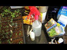 Using/Making Neem Oil Soap Spray for Vegetable Seedlings/Transplants: Fungi, Molds & Pests-TRG 2015 Diy Herb Garden, Vegetable Garden, Tomato Garden, Gardening Vegetables, Growing Vegetables, Shed Landscaping, Paper Pot, Spring Plants, Neem Oil