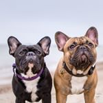 """1,147 Likes, 36 Comments - Two French Bulldogs (@lola_pepe_frenchies) on Instagram: """"Moved in with my mom and dad exactly two years ago !"""""""